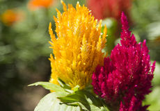 Celosia. Closeup of Celosia Flower (hot pink and yellow Stock Photo