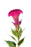 Celosia Royalty Free Stock Photos