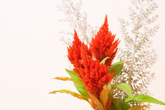 Celosia Royalty-vrije Stock Foto
