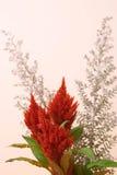 Celosia Imagens de Stock