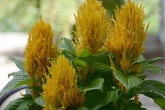 Celosia Стоковое Изображение RF