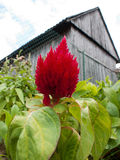 Celosia Stock Photography