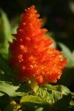 Celosia anaranjado Foto de archivo libre de regalías