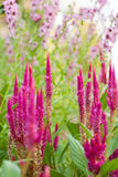 Celosia and Angelonia flowers Royalty Free Stock Images