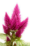 Celosia argentea. (var Venezuela) on a white background Royalty Free Stock Image