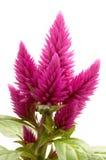 Celosia argentea Royalty Free Stock Image