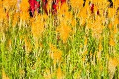 Celosia argentea Royalty Free Stock Photo