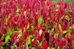 Celosia argentea. Beautiful red flower Royalty Free Stock Image