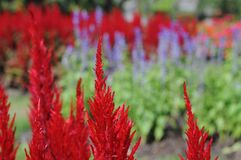 Celosia argentea. Bright Red flower stock images