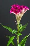 Celosia argentea, closeup Stock Image