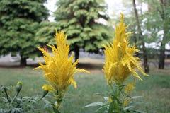 Celosia argentea closeup Stock Images