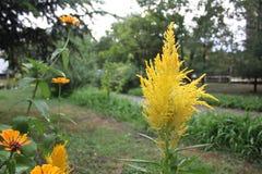 Celosia argentea closeup Stock Photos