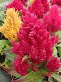 Celosia argentea. Colourful Celosia Argentea plants in bloom Stock Photo