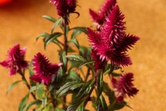 Celosia Argentea Cristata plant Stock Images