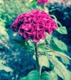 Celosia argentea  effect style vintege Royalty Free Stock Images