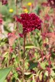 Celosia Argentea f Cristata Royaltyfria Foton