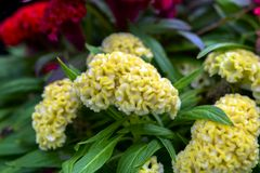 Celosia Argentea f. Cristata. Stock Photo