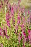 Celosia argentea flower Stock Photography