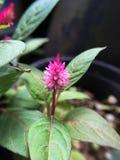 Celosia argentea flower Royalty Free Stock Photo
