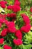 Pink Celosia argentea flower Stock Photos