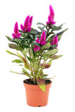 Celosia argentea. Flowering herb (Celosia argentea)in a  planter on a white background Royalty Free Stock Image