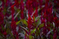 Celosia argentea in garden.A long red inflorescence stock photography