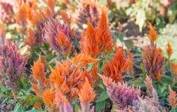 Celosia argentea Royalty Free Stock Photos