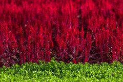 Celosia argentea L. Scarlet, is set in the garden as the background. Royalty Free Stock Image