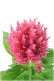 Celosia argentea Royalty Free Stock Images