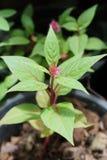 Celosia argentea plant Stock Photography