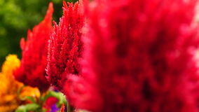 Celosia argentea plumosa stock footage