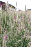 Celosia argentea/ silver cockscomb Royalty Free Stock Images