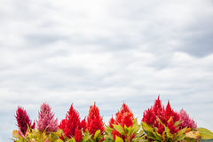 Celosia argentea on the sky was cloudy. Royalty Free Stock Images