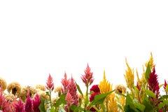 Celosia argentea on write background Royalty Free Stock Photos