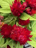 Celosia in bloom. Celosia plant in bloom in June. Picture taken in Mississippi royalty free stock images