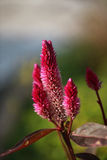 Celosia Bud Royalty Free Stock Photos
