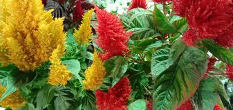 Celosia. Is a small genus of edible and ornamental plants in amaranth family stock photography