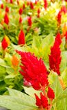 Celosia or cocks comb flowers. Closeup several red celosia or cocks comb flowers, Summer, Amaranthaceae, upstate New York stock image
