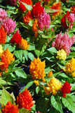 Celosia Royalty Free Stock Images