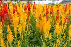 Celosia Cristata flower Royalty Free Stock Photo