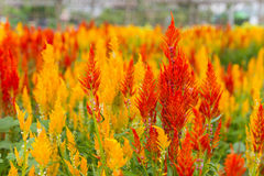 Celosia Cristata flower Royalty Free Stock Photography