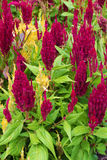 Celosia Cristata flower in bloom Royalty Free Stock Photography