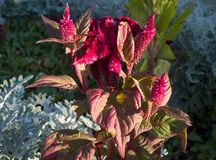 Celosia cristata flower Stock Images