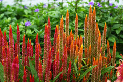 Celosia Cristata flower Royalty Free Stock Photo