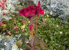 Celosia cristata on a flowerbed Royalty Free Stock Photos