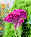 Celosia cristata, genus Celosia, commonly known as cockscomb Royalty Free Stock Photography