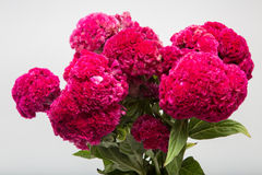 Celosia Cristata known as Cockscomb Royalty Free Stock Photos