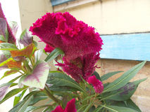 Celosia cristate 3 Arkivfoto