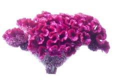 Celosia de fleur. image stock