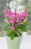 Celosia Flamingo Feathers pink flowers, shrub with green leafs, stock photography